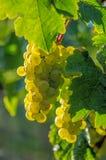 Druvor på vinen Royaltyfri Fotografi