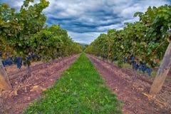 Druvor på vinen Fotografering för Bildbyråer