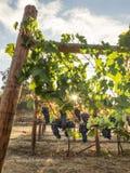 Druvor på vinen Royaltyfria Bilder