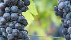 Druvor på vinrankacloseupen stock video