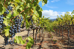 Druvor på vinrankan i Napaet Valley av Kalifornien Arkivfoto