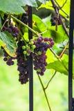 Druvor på vine Arkivfoto