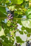 Druvor på vine Royaltyfri Fotografi