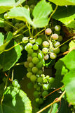 Druvor på vine Royaltyfria Bilder