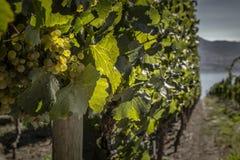 Druvor på vinrankacloseupen Royaltyfri Bild