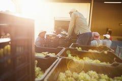Druvor som är klara att lasta av på vinfabriken Arkivbild