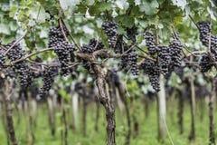 Druvor som är klara att skördas för den nästa vinproduktionen Royaltyfria Bilder