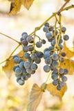 Druvor som hänger från en vinranka, varm bakgrundsfärg Royaltyfri Foto