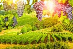 Druvor som hänger i vingård arkivfoton