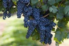 druvor som hänger vinen royaltyfri foto