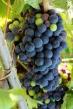 druvor som ripening arkivfoto