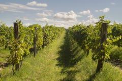 druvor som ripening vingården royaltyfri fotografi