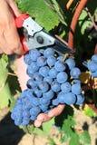 druvor som skördar mannen Royaltyfri Foto