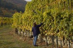 druvor som smakar kvinnan Royaltyfri Fotografi