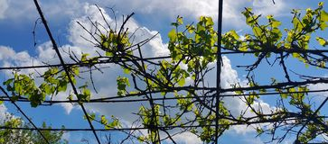 druvor som växer på bakgrunden av himmel med moln Arkivbilder