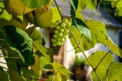 Druvor som växer på vinrankan - ett närbildskott av en grupp av mogna druvor för vitt vin som hänger på en vinrankabadning i sunl arkivfoton