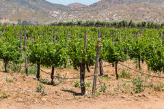 Druvor som växer på vinrankor i Ensenada, Mexico fotografering för bildbyråer