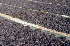 Druvor torkar på fältet. Arkivbild