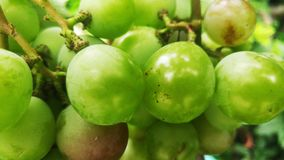 Druvorna är mognande i vingården royaltyfri bild