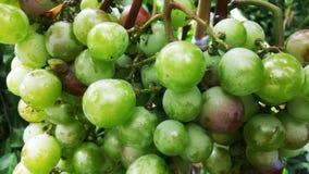 Druvorna är mognande i vingården arkivfoto