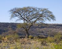Dry. A tree in the African plains Royalty Free Stock Photo