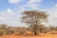 Dry acacia tree in the African savanna with many small bird nests stock photos