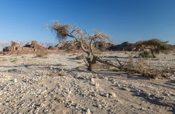 Dry acacia tree in desert of the Negev, Timna Park, Israel Stock Image