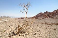 Dry acacia tree in the desert. (Shekhoret canyon near Eilat, Israel&#x29 Stock Photo