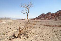 Dry Acacia Tree In The Desert Stock Photo
