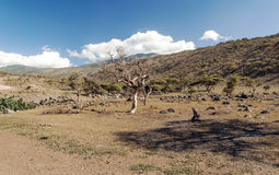 Dry acacias in the serengeti Stock Photo