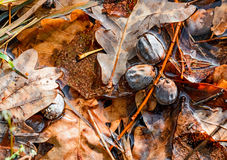 Dry Acorn and Oak Leaves Royalty Free Stock Photos