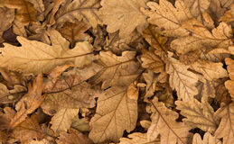 Dry Acron Leaves. Wonderful warm texture in these acorn leaves Royalty Free Stock Photography