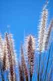 Dry African wild grass Royalty Free Stock Image