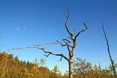 Dry aging pine Stock Photos