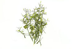 Dry of Andrographis paniculata plant on white background use for Royalty Free Stock Images