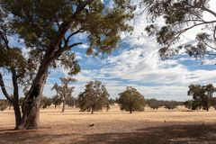 Dry Australian flat landscape with trees under a blue sky with white clouds. Very dry Australian flat landscape with trees under a blue sky with white clouds stock photo