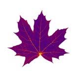 Dry autum maple leaf isolated on white background Royalty Free Stock Photo