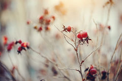 Dry autumn branches of a dogrose with red fruits. Royalty Free Stock Images