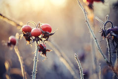 Dry autumn branches of a dogrose with red fruits. Royalty Free Stock Image