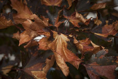 Dry Autumn Fall Leaves. Dry Curled Autumn Fall Leaves on Tree Branch Stock Photography