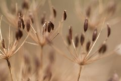 Dry grass with seeds. Dry autumn grass with elongated, oval seeds on the umbellate inflorescence royalty free stock images