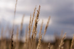 Dry autumn grass stalks against the sky. Rural landscape Royalty Free Stock Photo