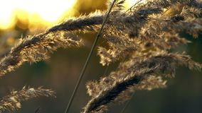 Dry autumn grass waving in the wind. The grass is beautifully illuminated by the rays of the setting sun. A sunny stock footage