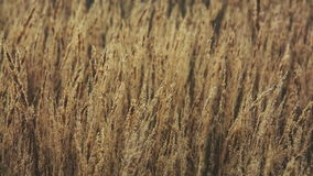 Dry autumn grass stock footage