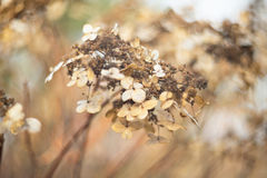 Dry autumn hydrangea Royalty Free Stock Image