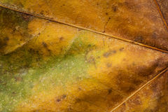 Dry autumn leaf close up Stock Photography
