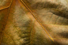 Dry autumn leaf close up Royalty Free Stock Images