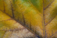 Dry autumn leaf close up Royalty Free Stock Photos