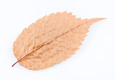 Dry Autumn Leaf Stock Images