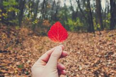 Dry autumn leaf in the hand of man at the beautiful forest background. Picturesque nature. Autumn time stock image